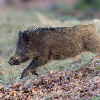 882.231 erlegte Wildschweine im Jagdjahr 2019/2020. Ein neuer Rekord. (Quelle: Rolfes/DJV) (Quelle: Rolfes/DJV)