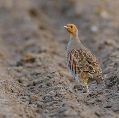 Rebhühner: Ihr Bestand hat sich in den vergangenen zehn Jahren halbiert (Quelle: Rolfes/DJV)