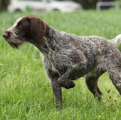 Der Deutsch-Drahthaar ist der häufigste Vorstehhund in Deutschland. (Quelle: moorhunde.de/DJV)