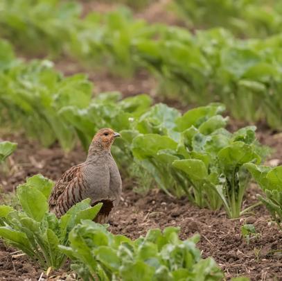 Eine Hauptursache für den Rückgang des Rebhuhns sind Veränderung in der Agrarlandschaft. (Quelle: Seifert/DJV)