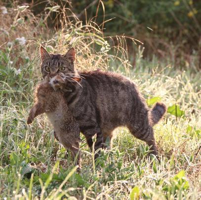 Anlässlich des Weltkatzentags macht der DJV darauf aufmerksam, dass verwilderte Hauskatzen die Artenvielfalt gefährden. (Quelle: DJV)