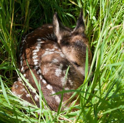 Gut getarnt: Instinkt verharren Kitze regungslos im hohen Gras. (Quelle: DJV/Kaufmann)