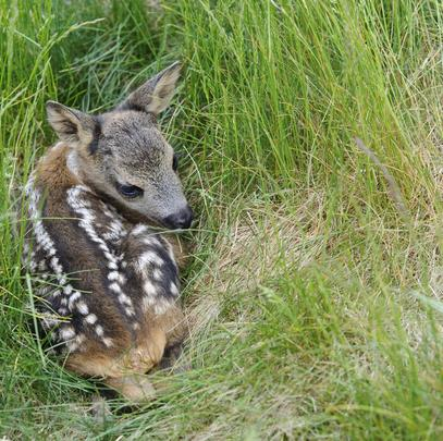 Kitz duckt sich im hohen Gras (Quelle: Rolfes/DJV)